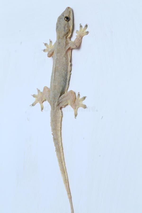 Aziatische hemidactylus van de Huishagedis of gemeenschappelijke gekko royalty-vrije stock foto's