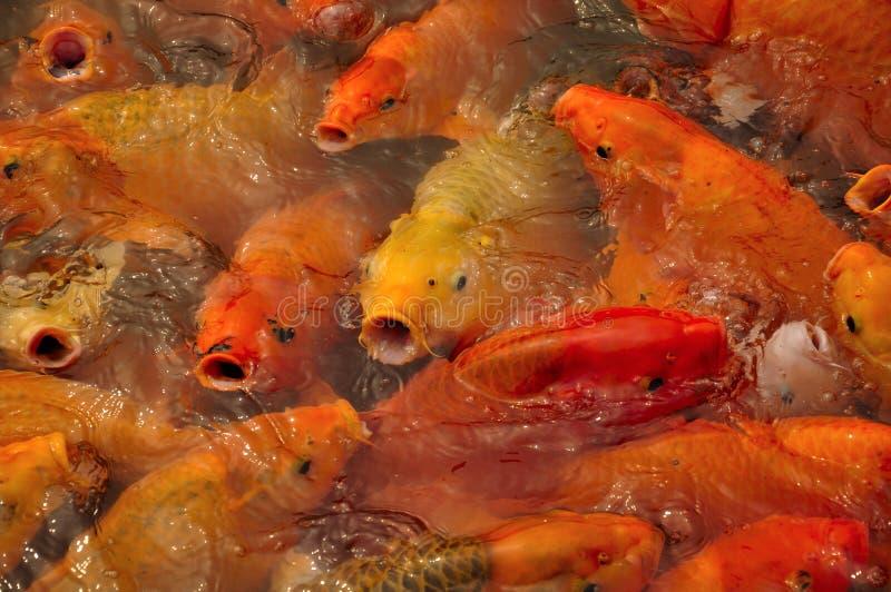 Aziatische Karper China royalty-vrije stock afbeelding