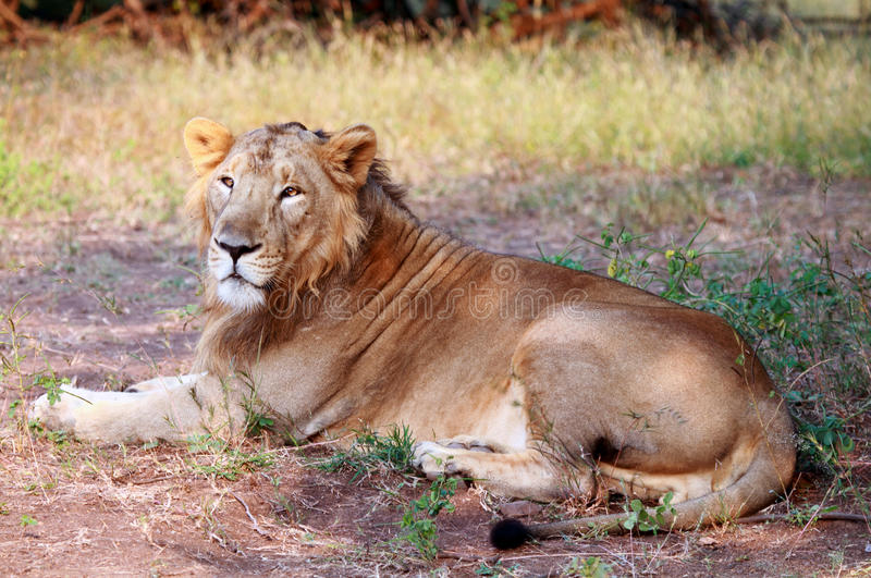 Aziatische Leeuw bij Bos nationaal Park Gir stock fotografie