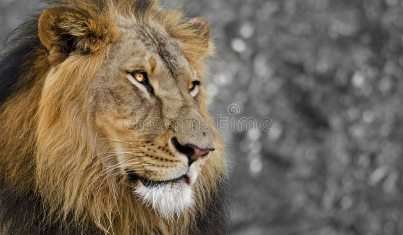 Aziatische Leeuw: De starende blik royalty-vrije stock afbeelding
