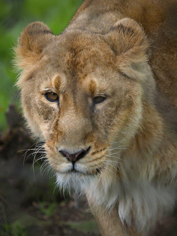 Aziatische Leeuwen in Chester stock afbeeldingen