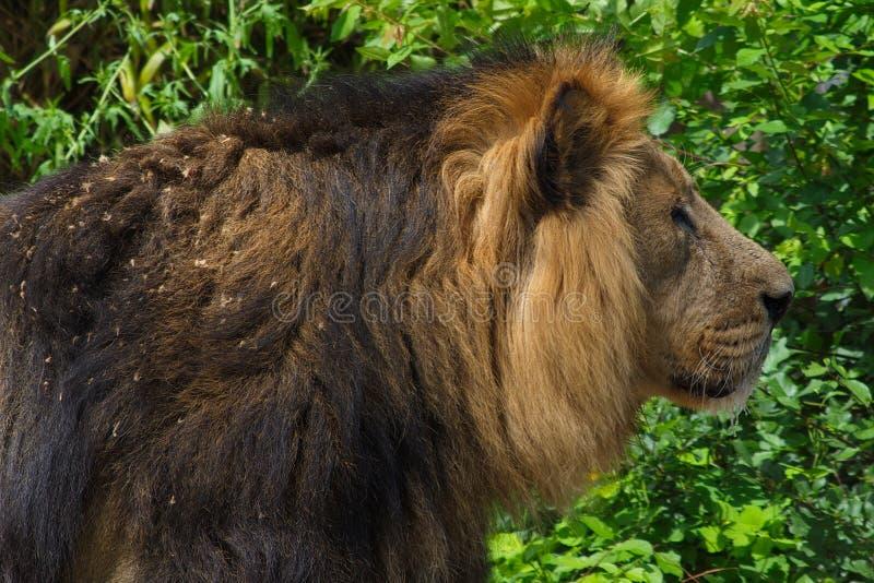 Aziatische mannelijke leeuw met gouden bruine manen stock fotografie