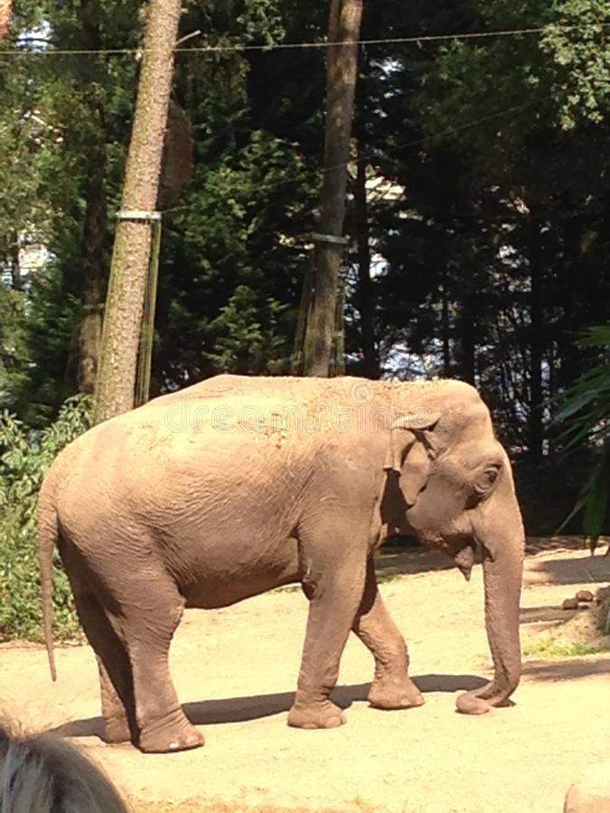 Aziatische olifant stock foto