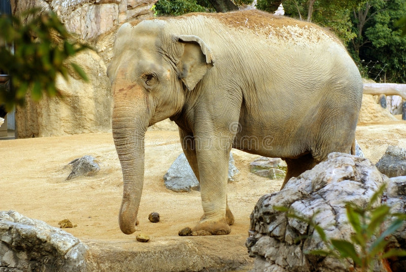 Aziatische Olifant royalty-vrije stock foto's