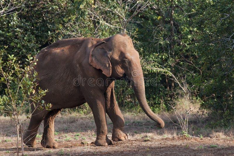 Aziatische olifant die uit bos te voorschijn komen stock afbeeldingen