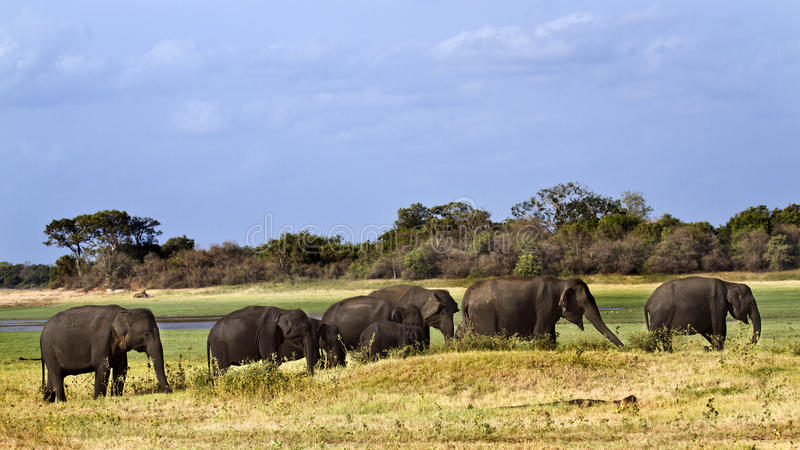 Aziatische olifant in Minneriya, Sri Lanka royalty-vrije stock afbeelding