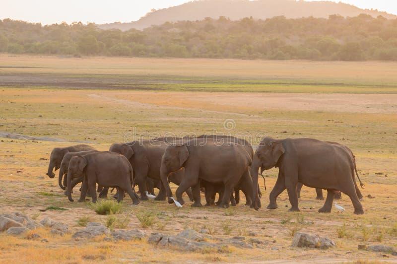 Download Aziatische Olifanten En Witte Aigrettes Tijdens Zonsondergang Stock Foto - Afbeelding bestaande uit zoogdier, groen: 29514930