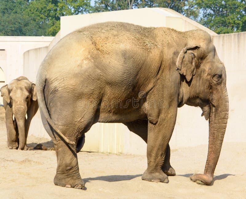 Aziatische olifanten in gevangenschap royalty-vrije stock afbeeldingen