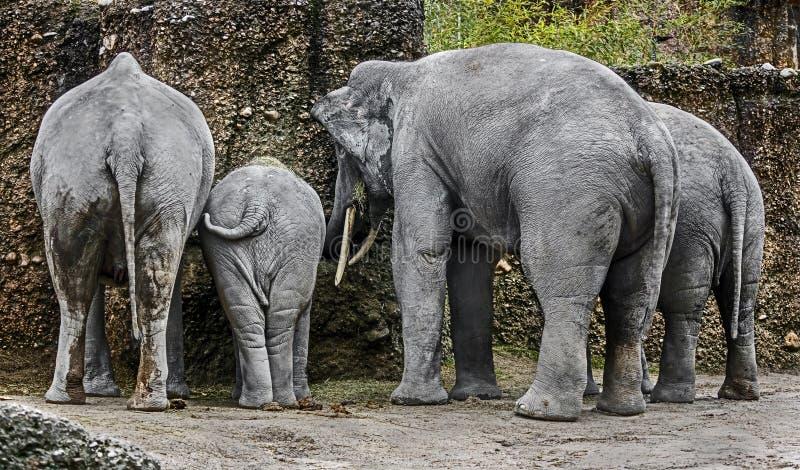 Aziatische olifantsfamilie royalty-vrije stock afbeelding