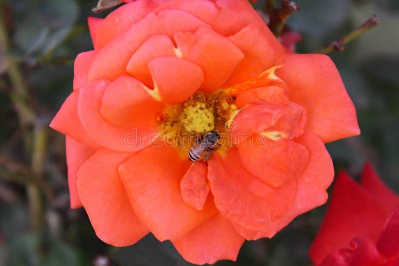 Aziatische Oranje Bloem royalty-vrije stock foto