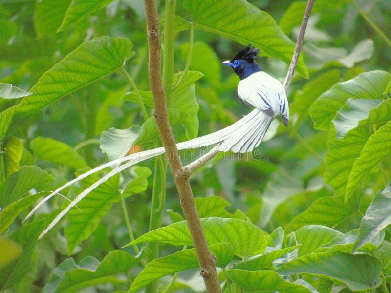 Aziatische paradijsvliegenvanger royalty-vrije stock afbeeldingen