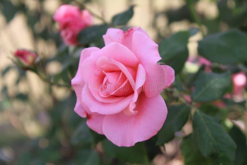 Aziatische Roze Bloem royalty-vrije stock foto