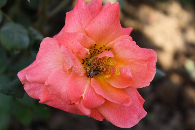 Aziatische Roze Bloem stock afbeeldingen