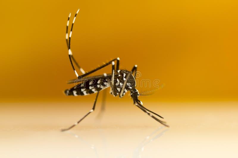 Aziatische Tiger Mosquito & x28; Aedes albopictus& x29; royalty-vrije stock foto's
