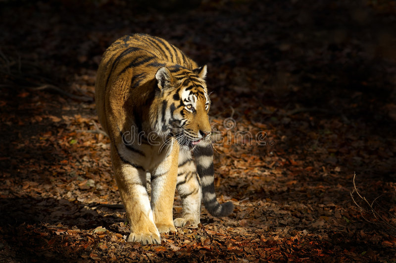 Aziatische tijger