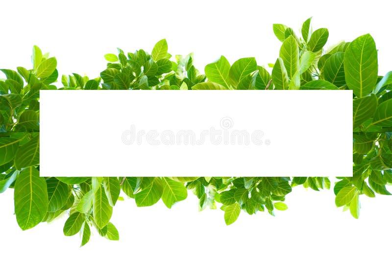 Aziatische tropische groene bladeren die op een witte achtergrond isoleerden stock foto's