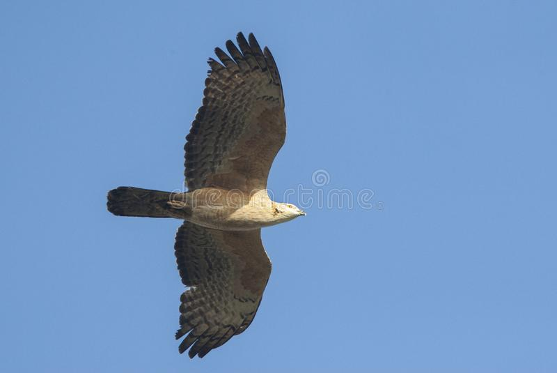 Aziatische Wespendief, Crested Honey Buzzard, Pernis ptilorhynchus stock image