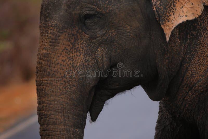 Aziatische Wilde Olifant royalty-vrije stock afbeelding