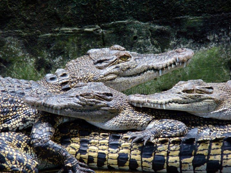 Azienda agricola 1 del coccodrillo fotografia stock libera da diritti