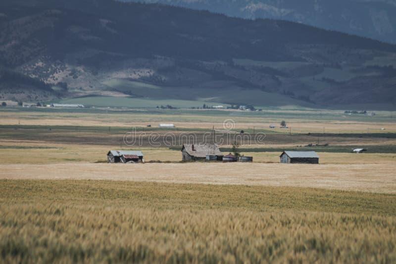 Azienda agricola abbandonata in mezzo ad un giacimento di grano fotografia stock libera da diritti