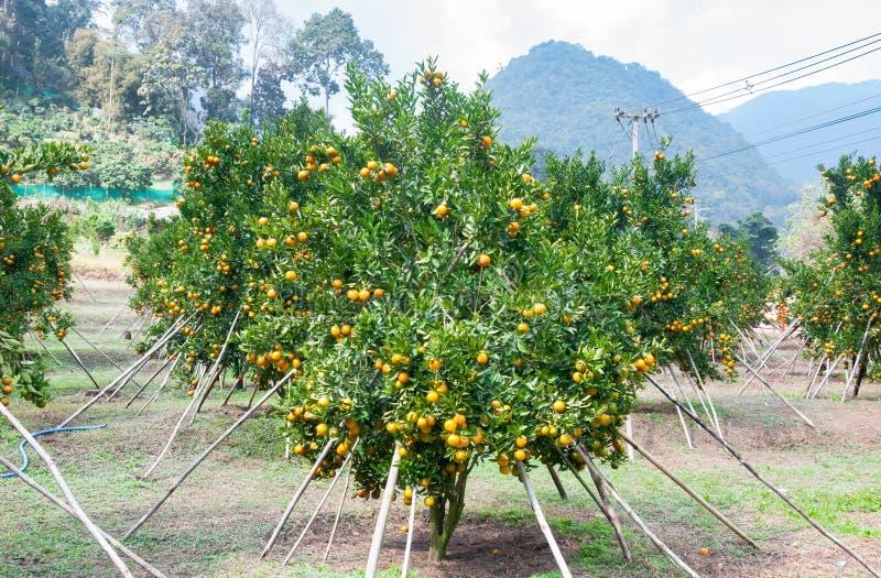 Azienda agricola arancio fotografia stock libera da diritti