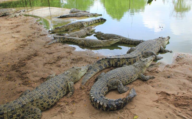 Azienda agricola del coccodrillo di Pattaya nessuno, giorno, gruppo, grande, marrone, croc, primo piano, luce del giorno immagine stock libera da diritti