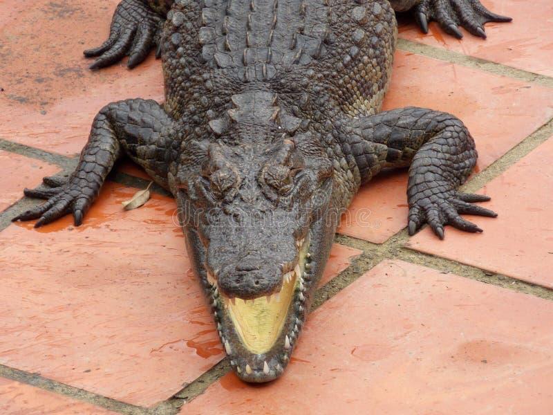 Azienda agricola del coccodrillo, Vietnam fotografia stock