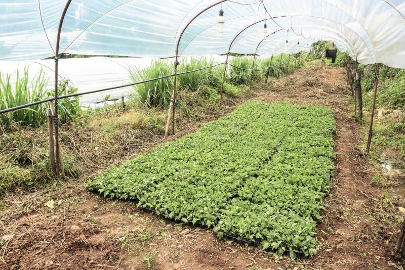 Azienda agricola del crisantemo immagini stock libere da diritti