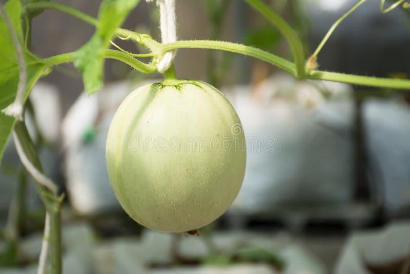 Azienda agricola del melone dolce di Kimochi del giapponese immagini stock libere da diritti