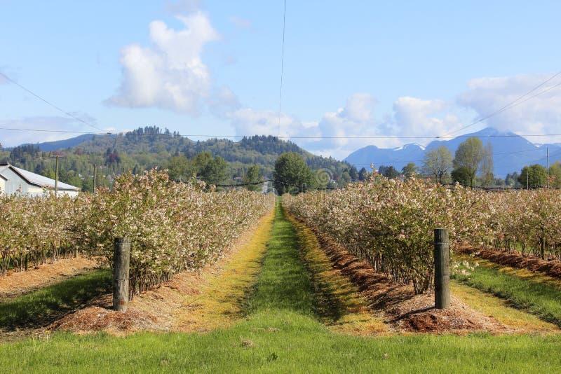 Azienda agricola del mirtillo in primavera immagine stock