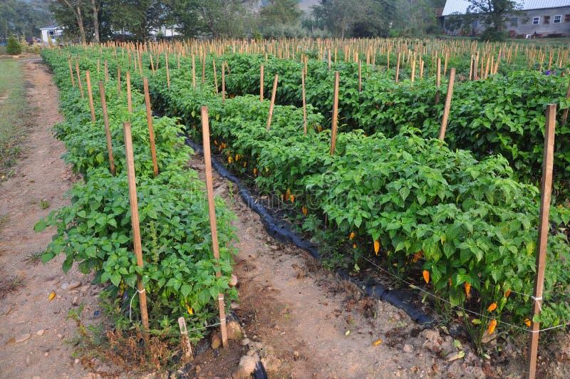 Azienda agricola del pepe caldo immagini stock libere da diritti