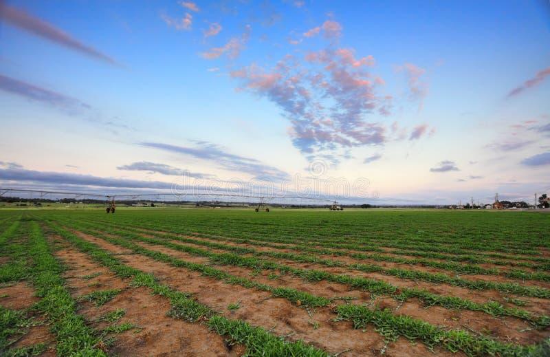 Azienda agricola del tappeto erboso - paspalo coniugato fotografie stock