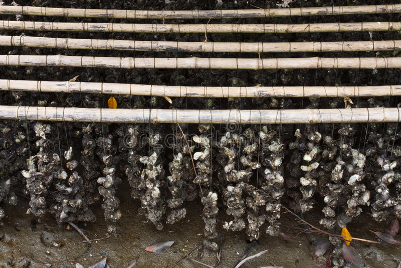 Azienda agricola dell'ostrica immagine stock libera da diritti