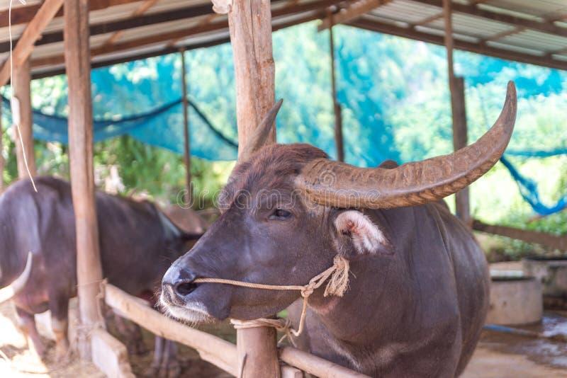 Azienda agricola della Buffalo a Suphanburi, Tailandia agosto 2017 fotografia stock libera da diritti
