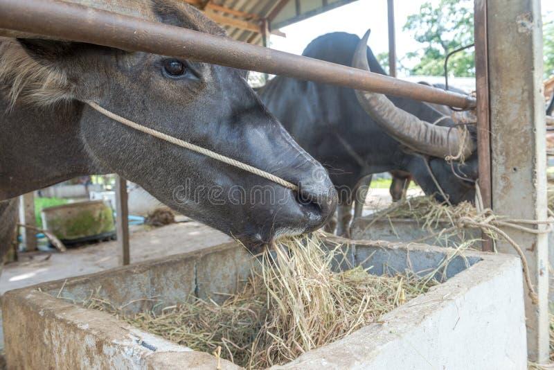Azienda agricola della Buffalo a Suphanburi, Tailandia agosto 2017 immagine stock libera da diritti