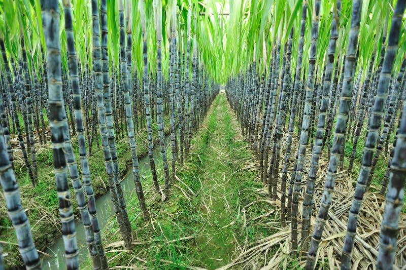 Azienda agricola della canna da zucchero immagine stock