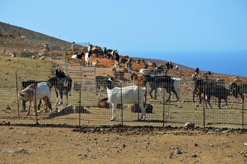 Azienda agricola della capra su Fuerteventura immagine stock
