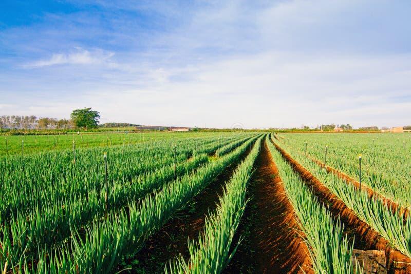 Azienda agricola della cipolla immagini stock libere da diritti