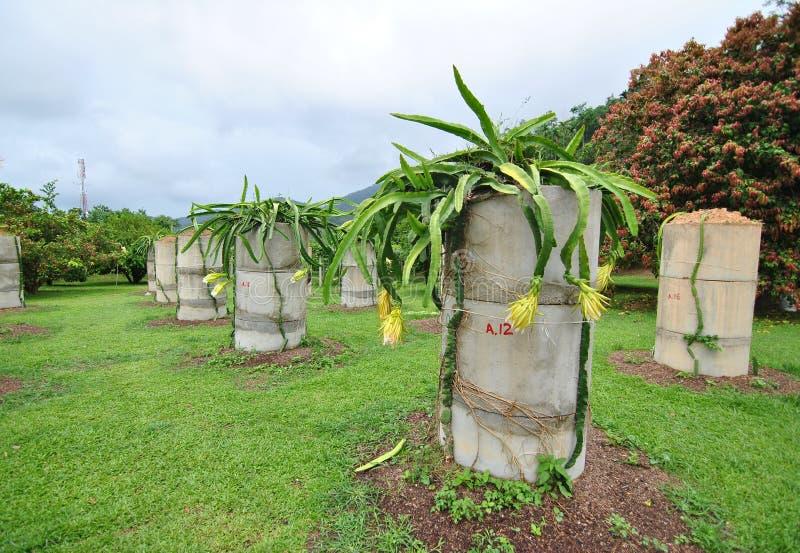 Azienda agricola della frutta tropicale di Penang fotografie stock libere da diritti