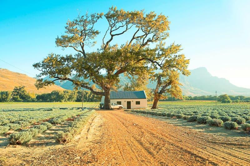 Azienda agricola della lavanda con l'albero fotografia stock