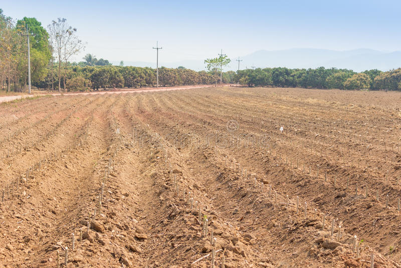 Azienda agricola della manioca fotografia stock