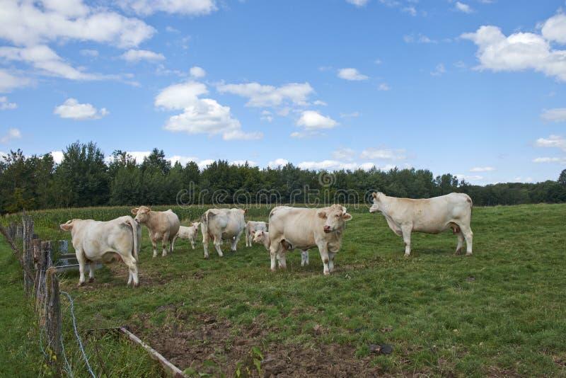 Azienda agricola della mucca fotografie stock libere da diritti