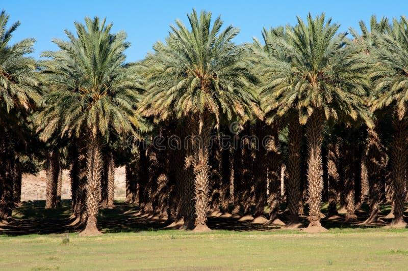 Azienda agricola della palma da datteri fotografia stock