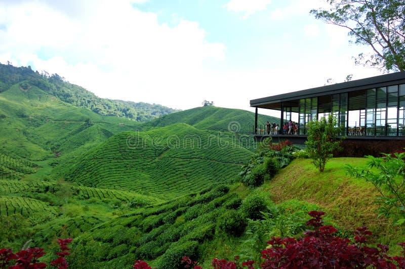 Azienda agricola della piantagione di tè in altopiani di Cameron fotografia stock