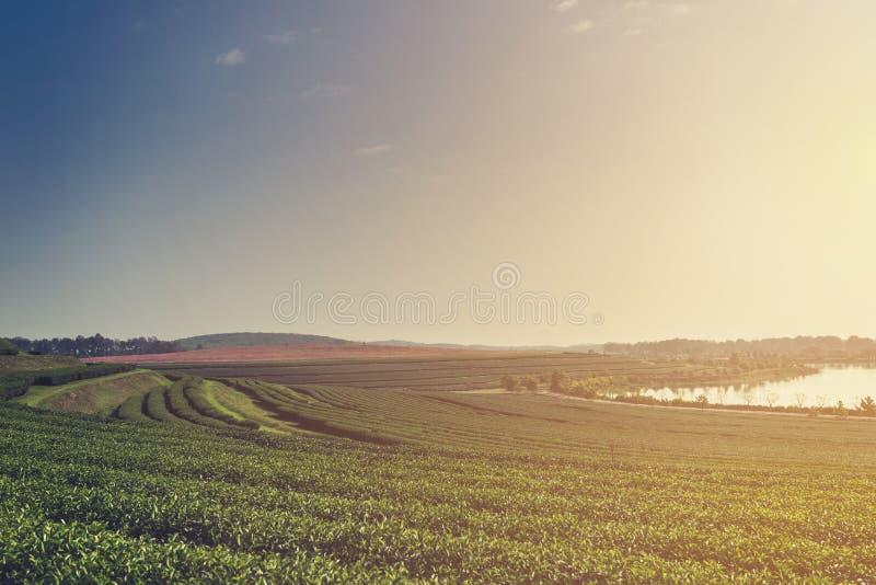 Azienda agricola della piantagione di tè verde con la luce e la foschia di mattina fotografia stock libera da diritti