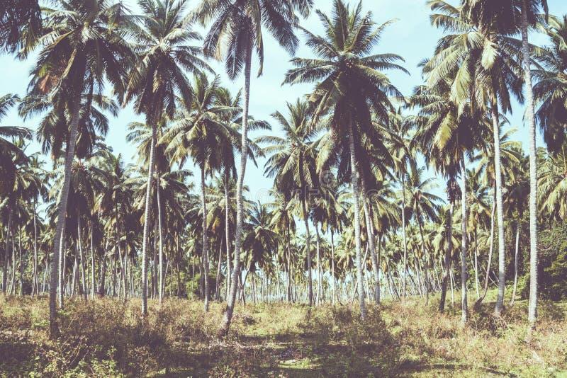 Azienda agricola di alberi del cocco in isola Tailandia immagine stock libera da diritti