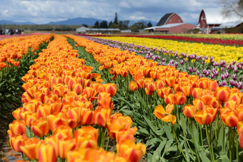 Azienda agricola di festival del tulipano della valle di Skagit immagini stock libere da diritti