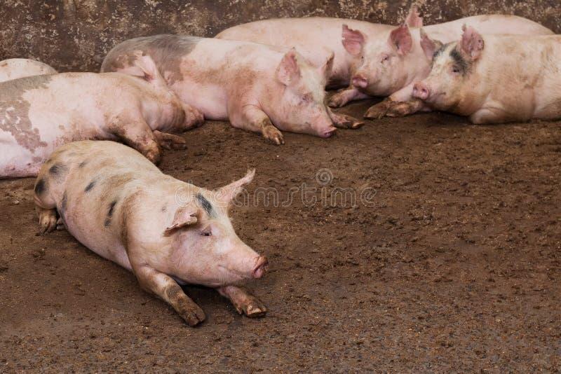 Azienda agricola di maiale immagine stock