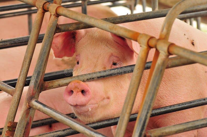 Azienda agricola di maiale fotografia stock libera da diritti