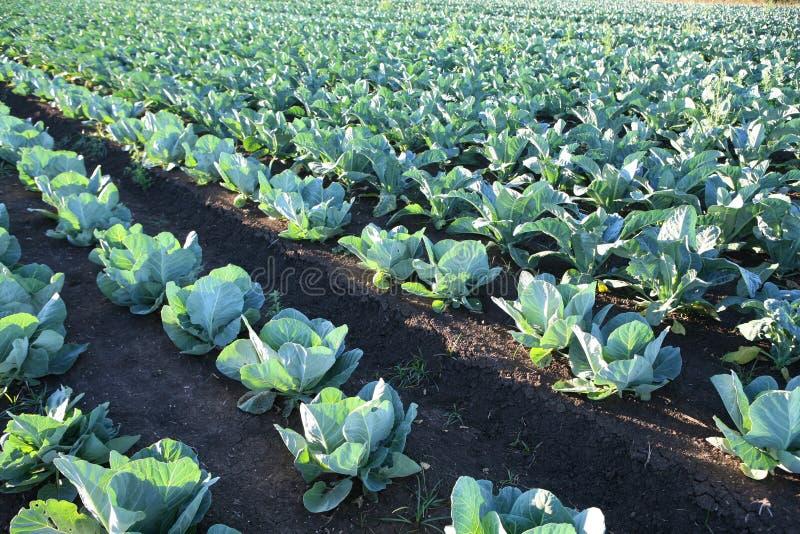 Azienda agricola di verdure del campo del cavolo fotografie stock libere da diritti